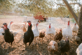 Heritage Poultry on Regusci Ranch